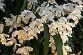 Coelogyne cristata Orchi 103.jpg