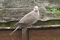 Collared Dove 1.jpg