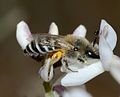 Colletes on Retama 1.jpg