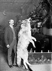 Foto do naturalista de Breckenridge Edwin Carter que está ao lado de um lobo cinzento taxidermied morto nas Montanhas Rochosas do Colorado, circa.  1890–1900.