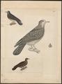 Columba plumbea - 1700-1880 - Print - Iconographia Zoologica - Special Collections University of Amsterdam - UBA01 IZ15600341.tif
