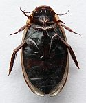 Colymbetes fuscus-01ventral-by itu.jpg