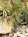 Commiphora saxicola - Palmengarten Frankfurt - DSC01752.JPG