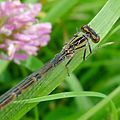 Common Bluet. Enallagma cyathigerum. Immature Female, Dull form - Flickr - gailhampshire.jpg