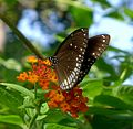 Common Indian Crow. Euploea core - Flickr - gailhampshire (1).jpg