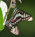 Common Jay (Graphium doson) mating in Hyderabad, AP W IMG 9769.jpg