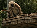 Common Langur.jpg