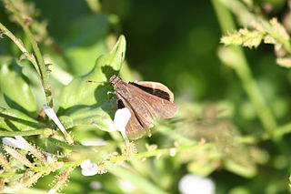 <i>Quasimellana eulogius</i> species of insect