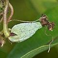 Common Milkweed (Asclepias syriaca) - Guelph, Ontario 01.jpg