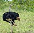 Common Ostrich (Struthio camelus) male ... (50673599293).jpg