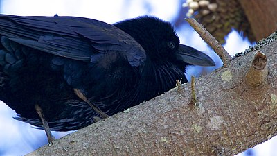 Common Raven - Pt Reyes - Marin - CA - 2015-10-20at12-19-254 (22620355950).jpg