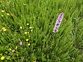 Common Spotted X Northern Marsh Orchid hybrid, Riccarton, Ayrshire.jpg
