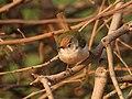 Common Tailorbird I IMG 9581.jpg
