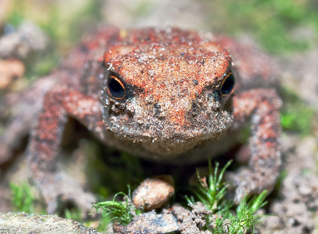 Common Toad - young, front (aka)