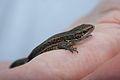Common Viviparous Lizard (Zootoca vivipara) (6161252305).jpg