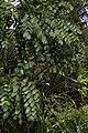 Comocladia Caney CF9A6003 Guao.jpg