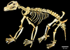 Composite Nimbadon lavarackorum skeleton from AL90, Riversleigh - journal.pone.0048213.g001.png