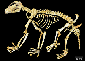 Australian Fossil Mammal Sites (Riversleigh) - Nimbadon skeleton