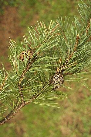 Scots pine Pinus sylvestris, Dordogne, France.