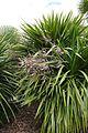 Cordyline australis-Parc du Grand Blottereau (1).jpg