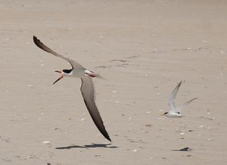 Black skimmer - A least tern attacking a much larger black skimmer near Drum Inlet in North Carolina, United States.