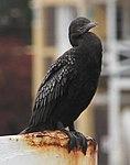 Cormorant (30697570821).jpg