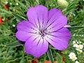 Corncockle (Agrostemma githago) (36723434191).jpg