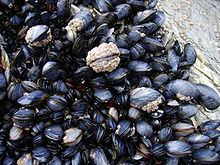 Mussels in Cornwall