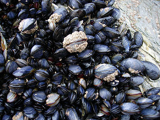 Mussel Common name for members of several families of bivalve molluscs