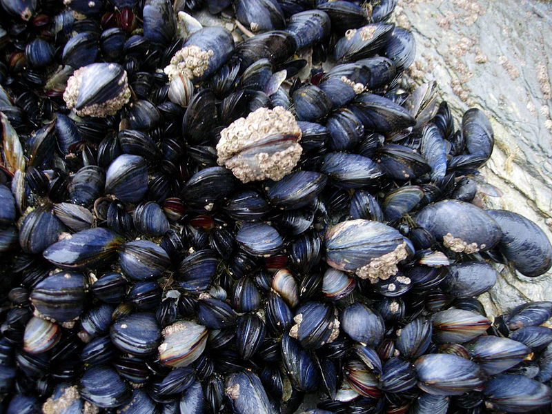 File:CornishMussels.JPG