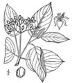 Cornus amomum BrittonBrown.png