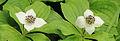 Cornus canadensis 02.JPG