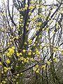 Cornus mas flowers by Natubico.JPG