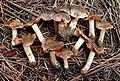 Cortinarius eldoradoensis Bojantchev 615835.jpg