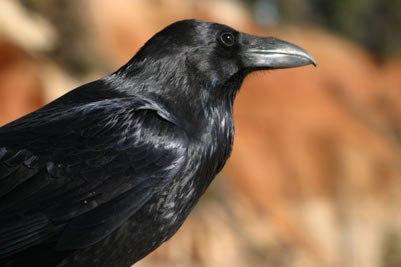 Corvus corax (Pcb21)
