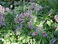 Corydalis solida clump 01.JPG