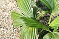 Corypha umbraculifera 4zz.jpg