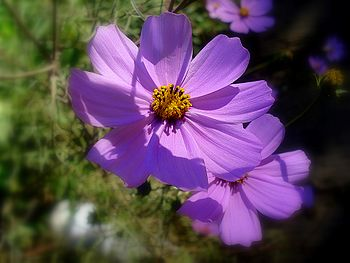 English: Cosmos in Asteraceae family