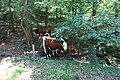 Cows @ Duingt (35511821515).jpg