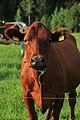 Cows by Kuninkaantie, Sipoo 3.JPG