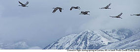 Cranes in Flight - Grays Lake National Wildlife Refuge.jpg