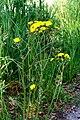 Crepis biennis ENBLA08.jpg