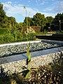 Crepis pulchra sl55.jpg