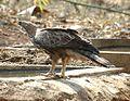 Crested Hawk Eagle 1.jpg