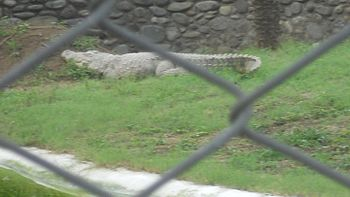 Crocodile at Chhatbir Zoo.jpg