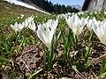 Crocus vernus subsp. albiflorus 0878.jpg