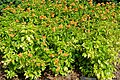 Crossandra infundibuliformis - Mounts Botanical Garden - Palm Beach County, Florida - DSC03821.jpg