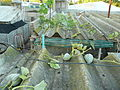 Cucurbita maxima Zapallo Plomo semillería Costanzi - 2014 03 28 - squash H I N P on the roof.JPG