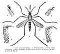Culex taeniorhynchus detail.jpg