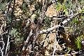 Cupressus nevadensis Hobo Ridge Grove (25) - Flickr - theforestprimeval.jpg